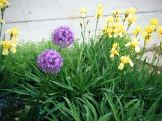 2 July 2014 Alliums and Irises. Allium giganteum has propagated. Photo courtesy of the homeowner. Starting A Garden, Allium, Propagation, Irises, Weed, York, Plants, Lilies, Iris