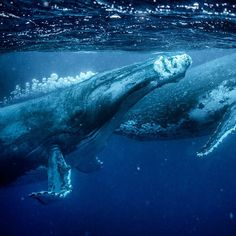Photo by / @tbfrost / Two male humpback whales in Tonga rise to the surface for air while chasing a female humpback during a heat run. Basically , A heat run is where several male whales follow a female hoping to prove they are the strongest so they get the chance to mate. It's a very exciting experience ! And Tonga is one of the best places in the world to see Humpbacks. For more photos of humpbacks , please follow me at @tbfrost  #liveyouradventure