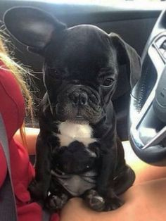 """French Bulldog Puppy said """"I'm worried my other ear ain't gonna go up""""... and Momma Human said """"Don't worry little one, your ears are both gonna go up, you'll see"""", French Bulldog Puppy Love"""