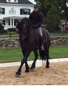 Black Friesian Horse Trotting Dressage Braided Mane Stallion Gelding Mare