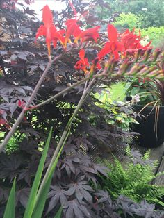 This fern is thriving under the Acer as it gets protection from the sun by the leaves of the tree while the taller Crocosmia in the foreground basks in the sunlight.
