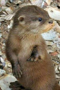 "A Cute Baby Otter.  ""Adorable, Cute Baby Animals"""