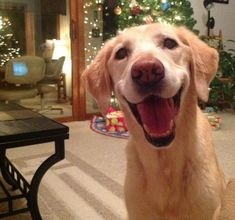 Ce chien qui attend Noël avec impatience.   Les 33 images les plus joyeuses de tous les temps