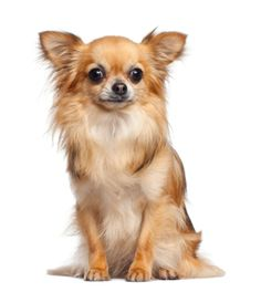 Short Hair White Chihuahua | Chihuahua long haired