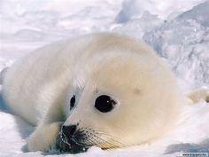 snow_creature_3 Baby Harp Seal, Baby Seal, Animals And Pets, Baby Animals, Creature Picture, Cute Seals, Seal Pup, Super Cute Animals, Cute Friends