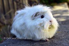Epic fluffy guinea pig Abby-Roo