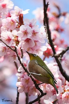 A tiny brown bird against beautiful pink blossoms.