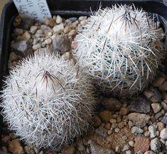 Turbinicarpus beguinii senilis MG445 | Resenter89 | Flickr Small Cactus, Cactus Y Suculentas, Succulents, Surat Thani, Green Houses, Gardens, Cactus Plants, Cooking, Garden