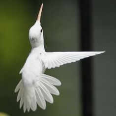 Angelic ~ Rare Ruby Throated Albino Hummingbird ...