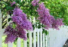 Rose garden Plants - Fragrant Garden Plants Best Smelling Plants For Gardens Bloomerang Lilac, Dwarf Flowering Shrubs, Lavender Blossoms, Lilac Bushes, Fast Growing Trees, Gardening Courses, Tips And Tricks, Garden Nursery, Lilacs
