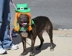 St. Patty's day pitbull ?  Yes please!