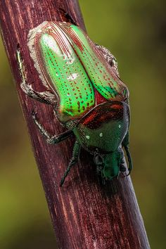 Dotted cetonid beetle <3