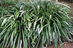 "Giant Striped Mondo Grass for sale buy Ophiopogon jaburan 'Vittatus', part shade, 30"" tall, 6' wide"