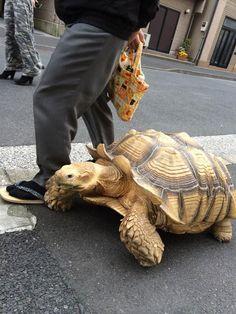 tortoise tortuga Cultura Inquieta1