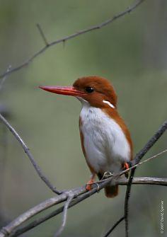 Madagascan Kingfisher.