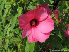 Perennial Hardy Hibiscus weedinwaterinwatchin.com