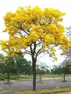 20 sementes ipê amarelo pequeno anão caatinga mata atlântica