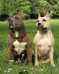 American Staffordshire Terrier Dog: History, Temperament, Care, Training & more - Dogs and Dog Advice