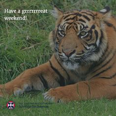 Have a grrrrrrreat weekend!  Our own Murray Collins is the Environmental Scientist in Residence at the Royal Zoological Society of Scotland. He has been using satellite imagery to illustrate to visitors to #edinburgh #zoo #deforestation and the loss of #tiger habitat in #sumatra.  #ecology #ecologicalscience #savethetiger #environment #stripes #yourgonnahearmeroar 🐯🐯😍