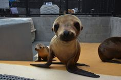 This California sea lion pup is now being cared for at The Marine Mammal Center. Baby Sea Lion, Animals And Pets, Cute Animals, Animal Fun, Wild Animals, Baby Animals, Funny Animals, Save Wildlife, Baby Seal