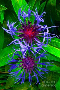 ✯ Blue Star Flowers
