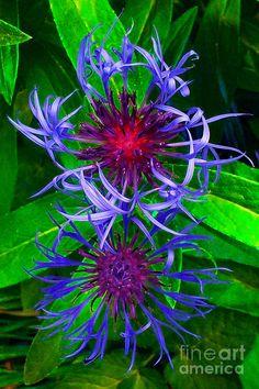 ✯ Blue Star Flowers