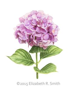 Pink Hydrangea Watercolor 8 x 10 Print by RowntreeStudio on Etsy