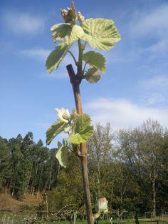As primeiras folhas de Soalheiro Alvarinho já estão visíveis ...first leaves.... #Alvarinho #Albarino