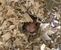 This sub is dedicated to hamsters and their humans. Treats, Hamsters, Cute, Internet, Animals, Sweet Like Candy, Goodies, Animaux, Kawaii