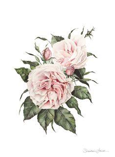 Garden Roses - Watercolor Painting - PRINT | Original Artwork by Botanical painter & artist Shealeen Louise