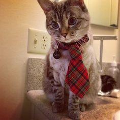 Nala Cat in a tie
