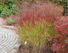 Panicum virgatum 'Shenandoah' is stunning and native!