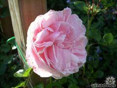 Rosa 'Giardina': een doorbloeiende, lekker geurende klimroos voor de romantische tuin http://derozenkring.be/soorten-rozen/klimrozen/giardina.html