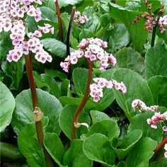The 60 best ground cover plants images on pinterest beautiful bergenia cordifolia growth 30cm high rose pink flowers with glossy rounded leaves will mightylinksfo