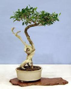 mature pachira aquatica bonsai tree fall exotics collection by livebonsaitree by. Black Bedroom Furniture Sets. Home Design Ideas