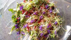 Salade de pissenlit du jardin, grenades et graines germées d'alfalfa
