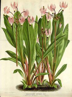 Illustration of Dodecatheon jeffreyi in Van Houtte's Flore des serres et des jardin de l'Europe, vol. 16