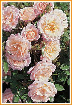 Peach Clementine®. In het patiosortiment een bijzondere kleur, wisselend van perzik-crème tot lichtroze. De romantisch aandoende bloemen zijn groot en dicht gevuld en hebben een erg lange houdbaarheid. Peach Clementine® heeft na de hoofdbloei een rijke nabloei.
