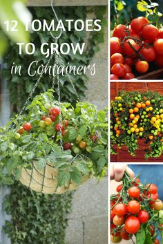 12 Tomato Varieties that are Perfect for Containers --> http://www.hgtvgardens.com/photos/vegetables-photos/choosing-tomato-varieties-for-your-container-garden?soc=pinterest
