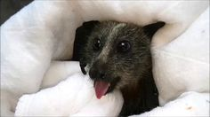 Annie, a Grey-headed flying-fox rescued off barbed wire