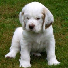 Clumber Spaniel Pup ~ Classic Look & Trim ~ Whidbey Kennel