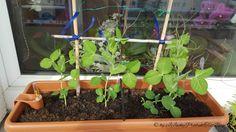 Erste Ergebnisse#02 Nun ist es ein Monat her, seit meine Enkelmaus mir beim Be- und Umpflanzen geholfen hat. Ich freue mich so über das bisherige Ergebnis. Den Pflanzen geht es soweit gut. Nur ein…