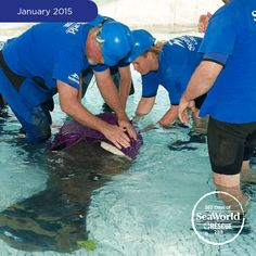 """In January, SeaWorld and the Florida Fish and Wildlife Conservation Commission rescued a 7-foot-long manatee that was suffering from a collapsed lung due to a boat strike. The animal was having a difficult time staying afloat, so the SeaWorld team created a special """"manatee wetsuit"""" to assist with buoyancy. The experts at SeaWorld are continuing to monitor his health in hopes of returning him to the wild. #365DaysOfRescue"""