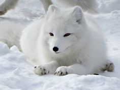 Today's zookeeper talk is at noon with Baby Arctic Fox, Fluffy Animals, Cute Animals, Detroit Zoo, Fox Pictures, Silver Foxes, Unusual Animals, Fox Art, Cute Fox