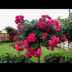 Raspberry blanket tree rose!!!