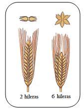 Figura.3 Variedades de Cebada