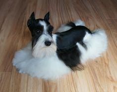 teacup schnauzer full grown - Google Search