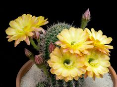 """Flowers: Mother Nature's Fireworks Cactus Flower animated bloOm! yellow, by photographer Greg Krehel on National Geo """"Mother Nature's Fireworks""""Cactus Flower animated bloOm! yellow, by photographer Greg Krehel on National Geo """"Mother Nature's Fireworks"""" Succulents Online, Cacti And Succulents, Blooming Flowers, Flowers Gif, Most Beautiful Flowers, Beautiful Gif, Cactus Y Suculentas, Desert Plants, My Flower"""