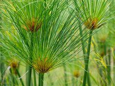 Cyperus papyrus PriscillaBurcher