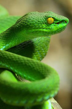 Pit Viper hopefully it's in a glass room at the zoo ...sure is beautiful tho
